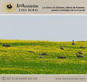 Avutardas en Sierra de Fuentes y Cáceres