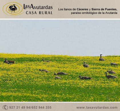 Los llanos de Cáceres y Sierra de Fuentes, paraíso ornitológico de la Avutarda
